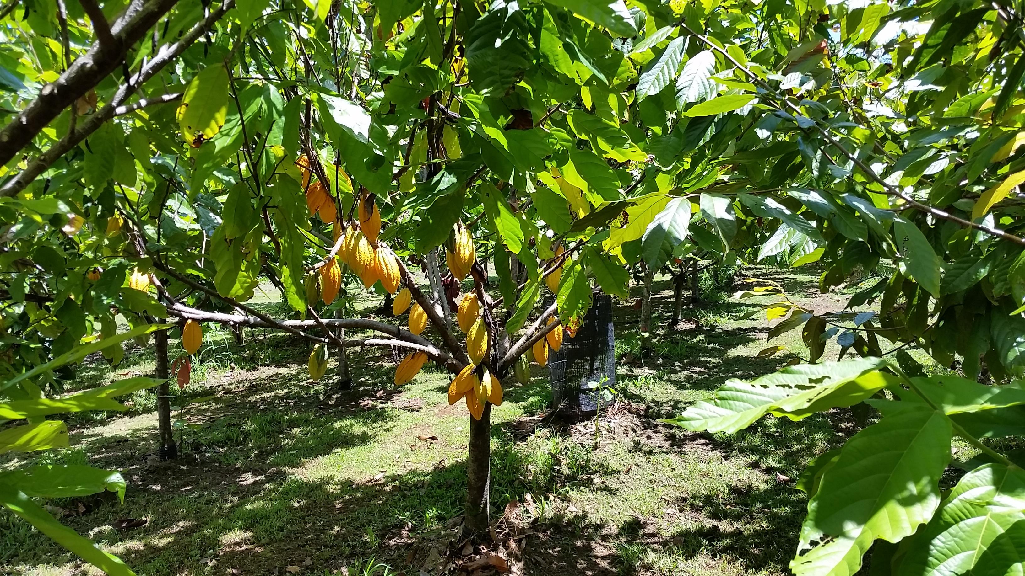 Mauna Kea Cacao Orchard
