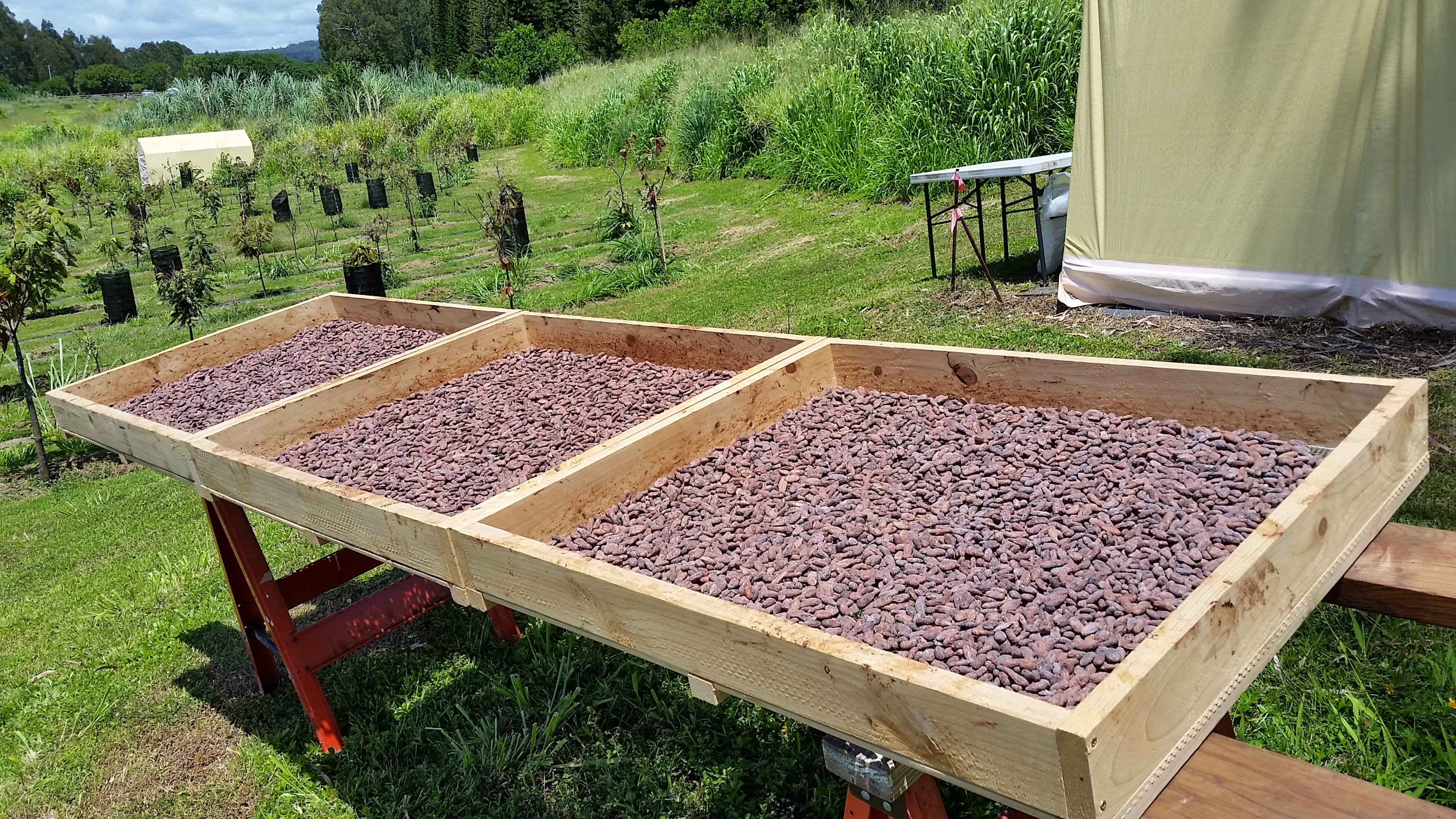 Mauna Kea Cacao beans drying in the sun.