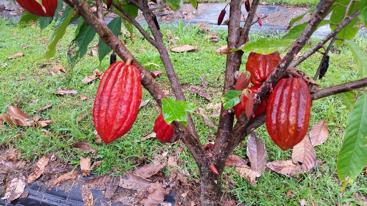 Mauna Kea Cacao Pods on Tree