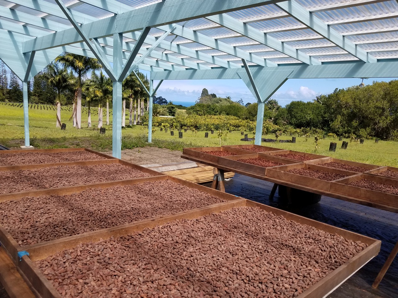 Drying Cacao and Mauna Kea Cacao's Farm